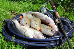 Fishing catch - zander, chub and perch. Fishing catch on the grass and fishing gear Royalty Free Stock Images