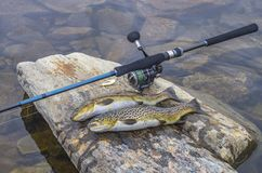 Fishing. Caught brown trout fish and spinning tackle on river stone.  royalty free stock image