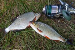 Fishing concept. Freshwater fish and fishing rods with reels on green grass. Single freshwater white bream or silver bream, roach. Fish on green grass royalty free stock image