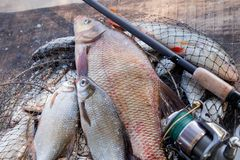 Trophy fishing. Big freshwater bronze bream or carp bream, white bream or silver bream and fishing rod with reel on landing net. Fishing concept, trophy catch stock image