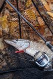 Freshwater pike fish. Freshwater pike fish, fishing rod with ree royalty free stock images