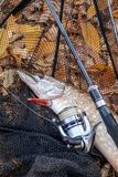 Freshwater pike fish. Freshwater pike fish, fishing rod with reel and black landing net as background. Fishing concept, trophy catch - big freshwater pike fish royalty free stock photos