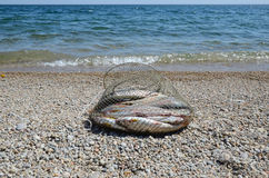 Fishing corf on with catch of Baikal grayling on the shore near the water Stock Photo