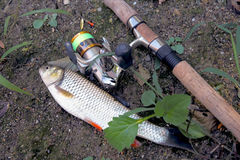 Fishing. Cought fish, near to fishing rod and reel Stock Photos