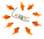 Fishing with dollar note. Fishing goldfish with hundred dollar note isolated on white Royalty Free Stock Images