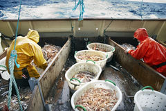 Fishing Dublin Bay prawns at sea Stock Image
