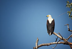 Fishing eagle Royalty Free Stock Images