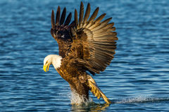 Fishing Eagle. Adult American Bald Eagle Fishing With Talons in Water and Wings Flared Royalty Free Stock Photography