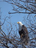 Fishing eagle Royalty Free Stock Image