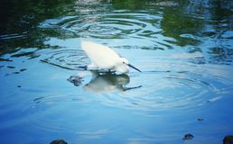 Fishing. Egrets fishing on the surface of the water Royalty Free Stock Photo