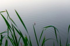 Fishing float in the reeds. Morning or evening fishing on the river. fishing float in the reeds. rest and relaxation in nature, an interesting hobby royalty free stock photos