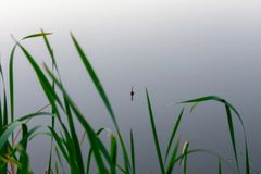 Fishing float in the reeds. Morning or evening fishing on the river. fishing float in the reeds. rest and relaxation in nature, an interesting hobby stock image