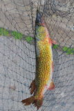 Fishing. Got these fish at franklin lake nj Stock Images
