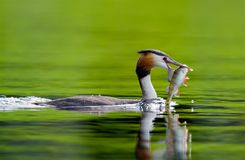 Fishing great crested grebe on a lake in Sweden royalty free stock photography