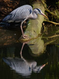 Fishing Grey Heron Royalty Free Stock Images