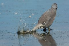 Fishing grey heron on the west coast stock images