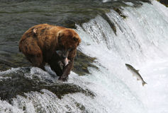 Fishing Grizzly bear. Stock Photo