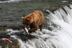 Fishing Grizzly bear. Grizzly bear caught Sockeye salmon, Brooks Falls, Katmai National Park, Alaska Royalty Free Stock Photo