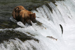 Fishing Grizzly bear. Stock Photos