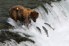Fishing Grizzly bear. Royalty Free Stock Image