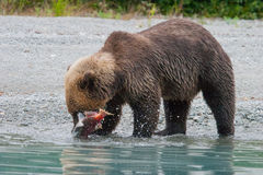 Fishing grizzlystanding Royalty Free Stock Photo