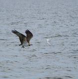 Fishing hawk stock photo