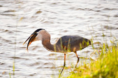 Fishing Heron Stock Photography