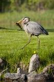 Fishing heron walking Stock Images