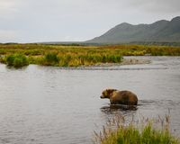 Fishing Hole Kodiak Bear. Stock Photography