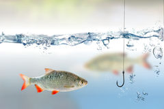 Fishing hook under water and fish rudd Royalty Free Stock Photography