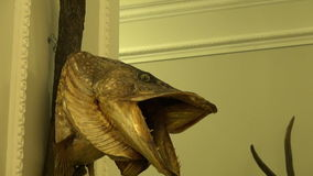 Fishing and hunting trophy on room wall. Fishing and hunting trophy on manor room wall stock footage