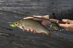 Ide fish in hand of fisherman with rod. Fishing. Ide fish in hand of fisherman with rod on water background royalty free stock image