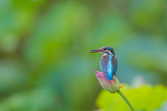 Fishing in Kingfisher Royalty Free Stock Photography