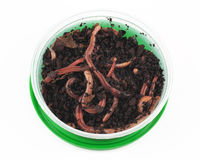 Fishing, live bait, red worm Dendrobena in a box Royalty Free Stock Photo