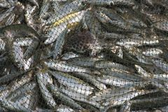 Fishing - live fish caught in the net Royalty Free Stock Photography
