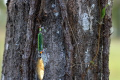 Fishing Lure Hanging In Tree Royalty Free Stock Images