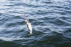 Fishing mackerel in the sea Royalty Free Stock Image