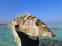 Fishing in the Maldives. Coral Fish on fly in the Maldives Royalty Free Stock Image