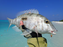 Fishing in the Maldives. Coral Fish on fly in the Maldives Stock Photography