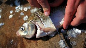 Fishing. Man angler incision preparing fish on the stock footage