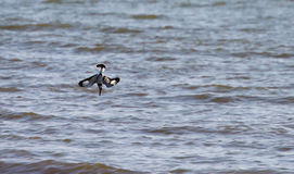 Fishing manoeuvre of a Pied Kingfisher Stock Images