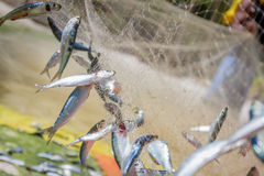 Fishing net with fish. On natural background royalty free stock photo