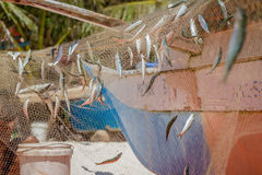Fishing net with fish. On natural background stock image
