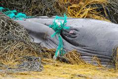 Fishing Net Tangled in the Mouth of a Baleen Whale Stock Images