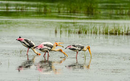 Fishing Painted Stork Stock Photo