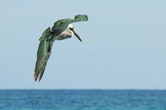 Fishing pelican. Wild pelican looking for fish in Caribbean sea waters Stock Photos