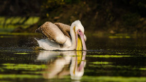 The Pelican - Fishing  Stock Photo