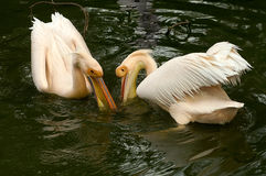 Fishing pelicans Royalty Free Stock Image
