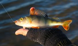 Fishing perch. Winter fishing perch on silicon bait at moscow river Stock Image