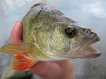 Fishing - perch. Perch catched on lake in summer Royalty Free Stock Photo